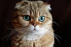 Fotos Katze Augen Schottische Faltohrkatze Blick Schnauze Schnurrhaare Vibrisse