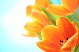 Photo Tulips Closeup Orange Flowers