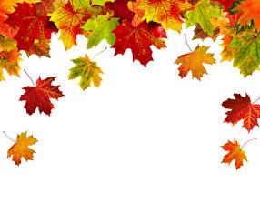 Bilder Herbst Großansicht Weißer hintergrund Blattwerk Ahorn Vorlage Grußkarte Natur