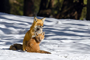 Pictures Foxes Cubs Snow Two Animals