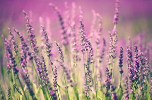 Hintergrundbilder Lavendel Großansicht Blumen