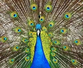 Fotos Vogel Pfauen