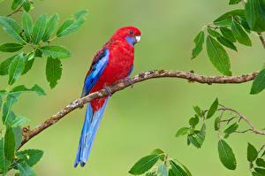 Hintergrundbilder Vögel Papageien Farbigen hintergrund Ast Tiere
