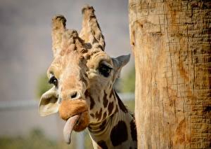 Hintergrundbilder Giraffe Zunge Kopf Tiere