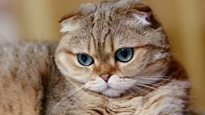 Hintergrundbilder Katze Schottische Faltohrkatze Schnauze ein Tier
