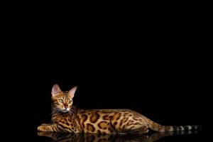 Bilder Hauskatze Bengalkatze Schwarzer Hintergrund Starren Gold