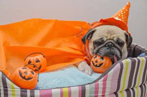 Hintergrundbilder Halloween Hunde Kürbisse Mops (Hunderasse) Uniform