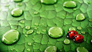 Pictures Closeup Lady beetle Drops Animals