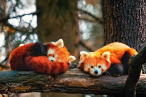 Wallpaper Red panda Two Sleeping animal