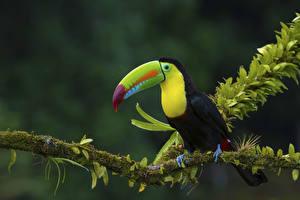 Bilder Vögel Tukane Ast Laubmoose Tiere
