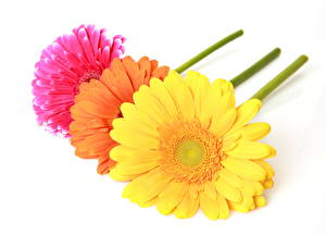 Fotos Gerbera Weißer hintergrund Blüte