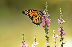 Bilder Schmetterling Monarchfalter