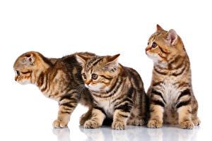 Hintergrundbilder Hauskatze Schottische Faltohrkatze Weißer hintergrund Katzenjunges Drei 3 Tiere