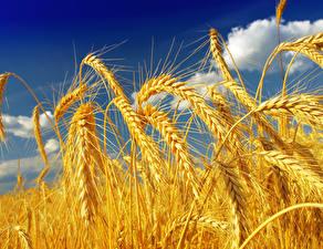Fotos Acker Großansicht Weizen Ähre