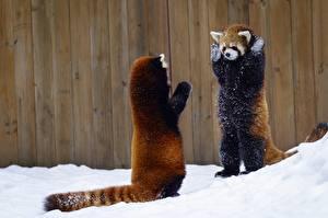 Images Red panda Giant panda Snow 2 animal