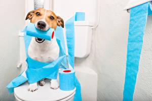 Fotos Hunde Jack Russell Terrier Starren WC Lustiger Tiere