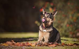 Hintergrundbilder Hunde Herbst Zunge Shepherd