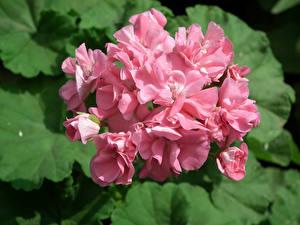 Image Geranium Closeup Pink color Flowers