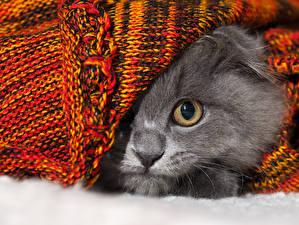 Hintergrundbilder Katze Augen Grau Nase ein Tier