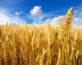 Bilder Felder Himmel Weizen Ähren