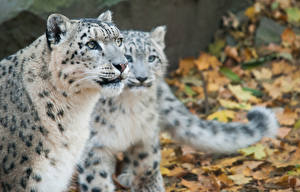 Pictures Big cats Snow leopards Two Staring animal
