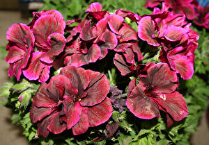 Pictures Geranium Closeup Dark red Flowers