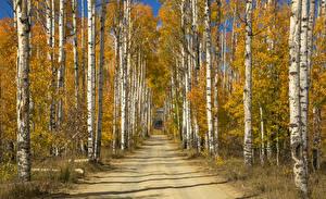 Fotos Wege Herbst Bäume Birken