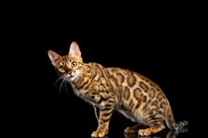 Bilder Katzen Bengalkatze Schwarzer Hintergrund Blick Gold ein Tier