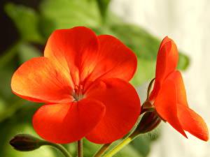 Bilder Nahaufnahme Geranien Rot Blumen
