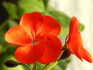 Image Closeup Geranium Red Flowers