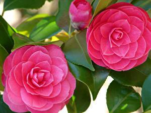 Desktop hintergrundbilder Kamelien Hautnah Rosa Farbe 2 Blütenknospe Blatt Blüte