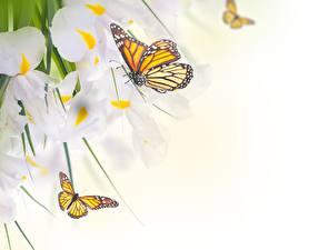 Hintergrundbilder Schmetterlinge Monarchfalter Schwertlilien Tiere Blumen