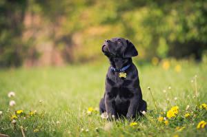 Photo Dog Puppies Grass Retriever Black Animals