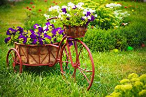 Hintergrundbilder Petunien Gras Weidenkorb Fahrräder Hölzern Blüte