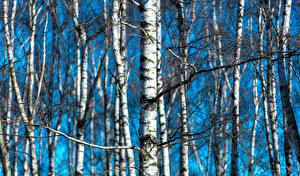 Hintergrundbilder Birken Baumstamm Bäume