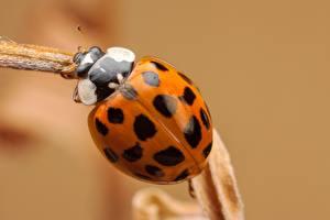 Wallpaper Ladybugs Closeup Macro photography Orange animal
