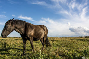 Images Horses Meadow Sky 1ZOOM Grass Animals