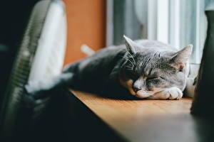 Desktop hintergrundbilder Katze Schläft Grau ein Tier