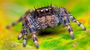 Bilder Webspinnen Großansicht Augen Springspinnen Tiere