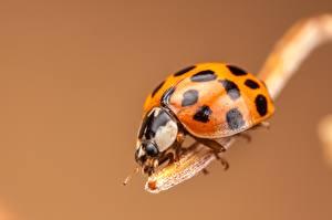 Pictures Ladybugs Closeup Orange animal