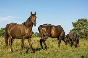 Pictures Horse Meadow 1ZOOM Grass Animals