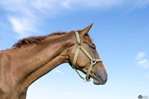 Desktop wallpapers Horses Sky 1ZOOM Head animal