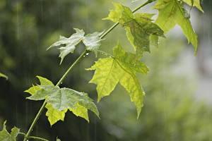 Photo Rain Maple Leaf Green Nature
