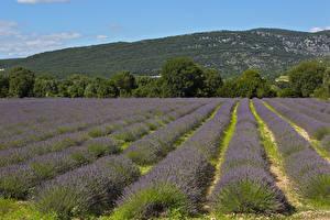 Bilder Frankreich Acker Lavendel Bäume Ardeche Natur