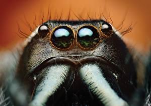 Fotos Augen Webspinnen Großansicht Springspinnen Makrofotografie Bagheera kiplingi ein Tier