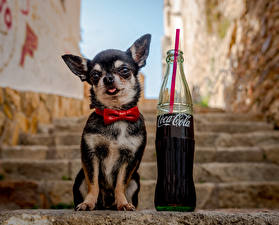 Image Dog Drinks Coca-Cola Chihuahua Bottles Bowknot Staircase Bow tie Animals