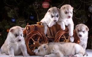 Papel de Parede Desktop Cães Cachorrinho Husky siberiano animalia