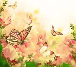 Bilder Schmetterling Monarchfalter ein Tier