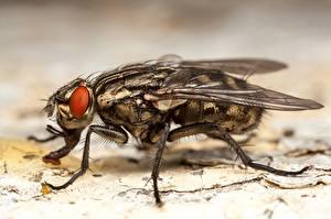 Papel de Parede Desktop moscas De perto Insetos Macro animalia