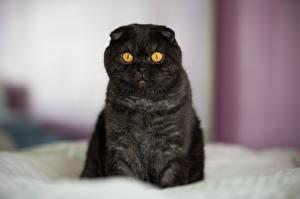 Fotos Katzen Schottische Faltohrkatze Schwarz